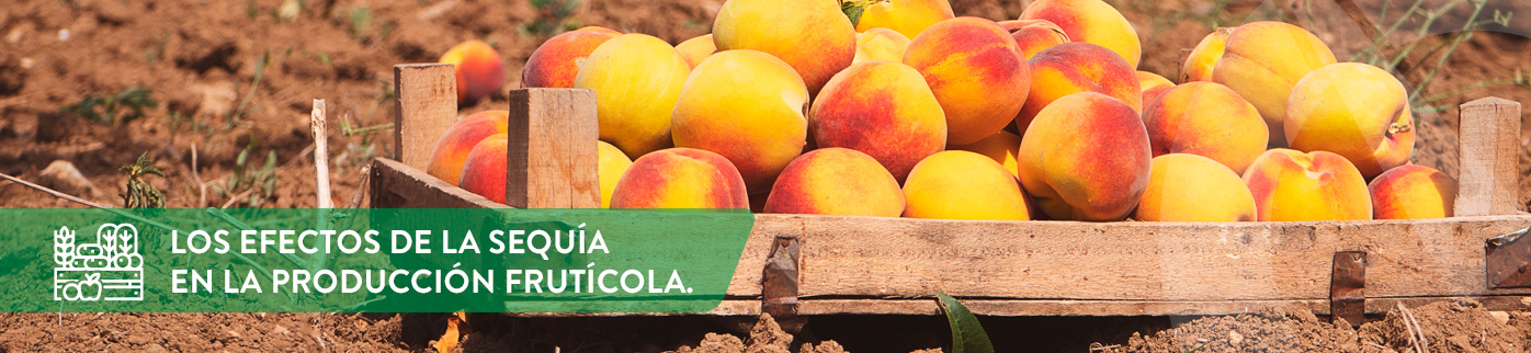 Efectos de la sequía en la producción frutícola